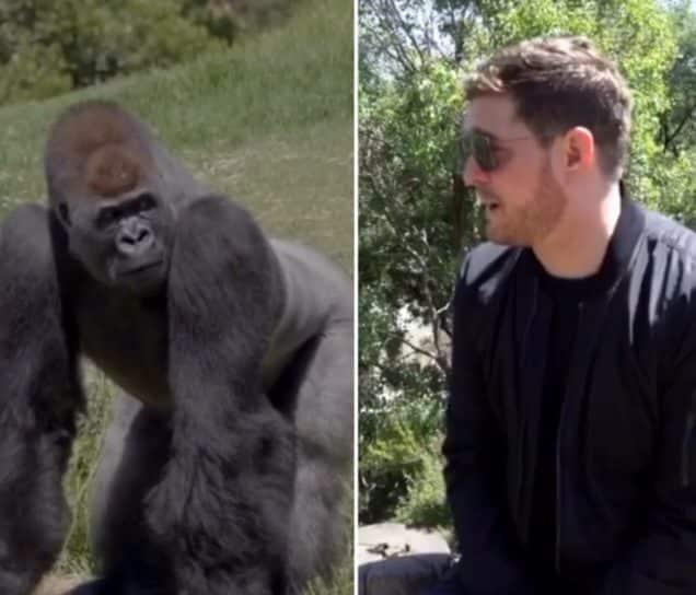 Michael Bublé visits gorillas at Weribee Open Rage Zoo (Photo: 2zoosvictoria/Instagram)